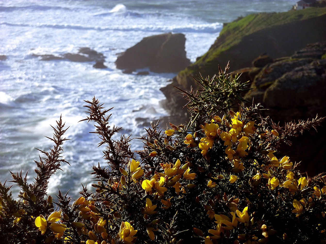 cornwall gorse on the coast